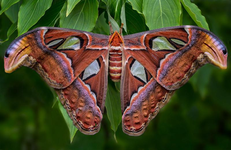 Atlas Moth - Female