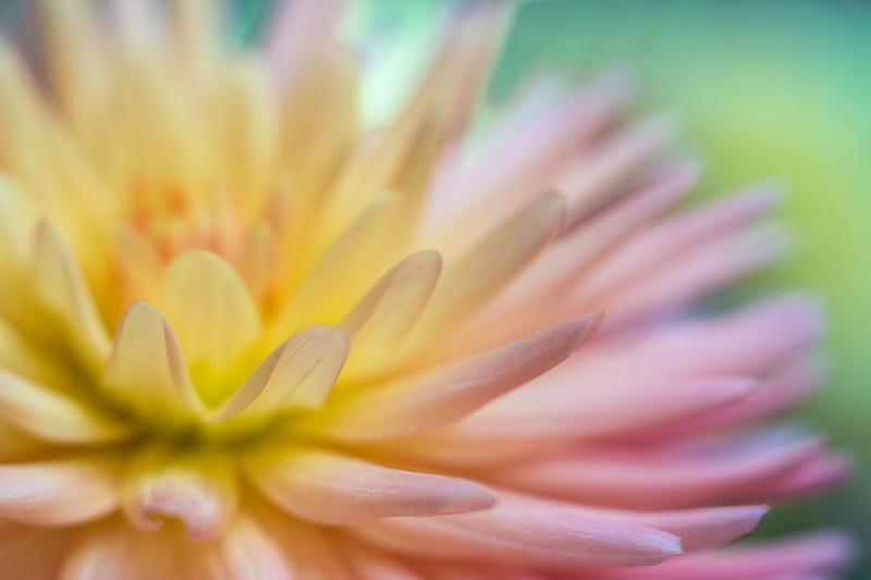 Dahlia Glow