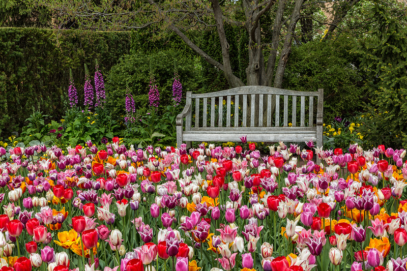 Tulip Time in the Secret Garden
