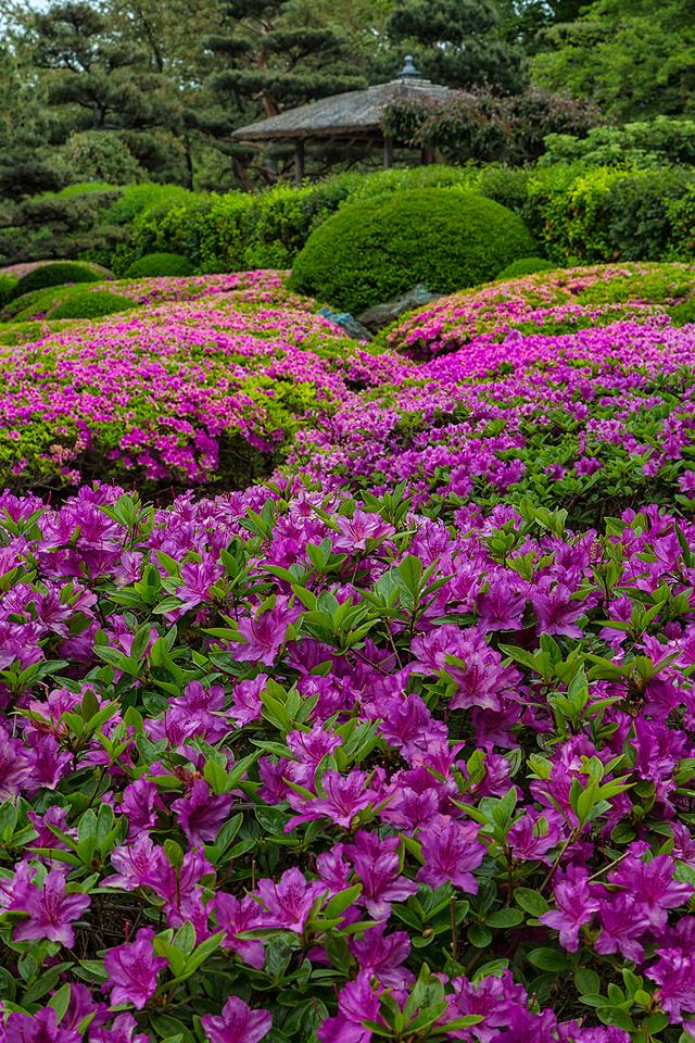 Azaleas in the Japanese Garden