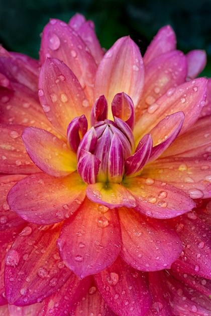 Firepot Waterlily Dahlia