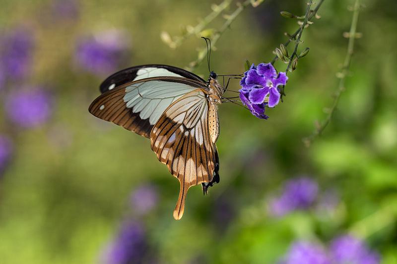 Mocker Swallowtail on Skyflower