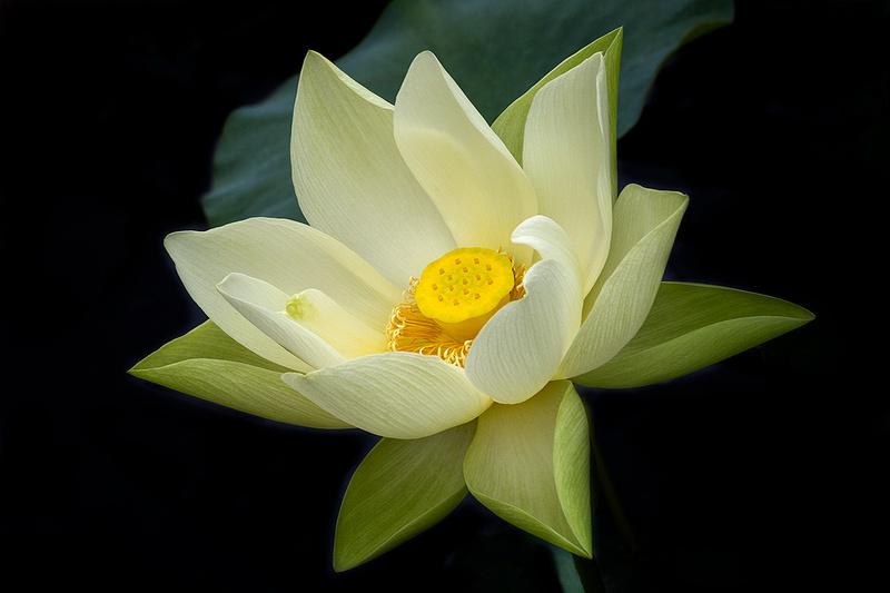 'Perry's Giant Sunburst' Lotus