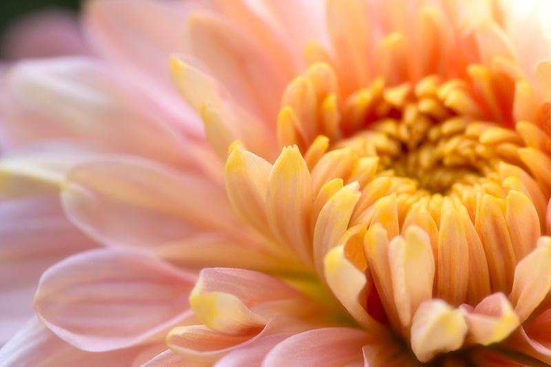 'Annie Girl' Garden Chrysanthemum
