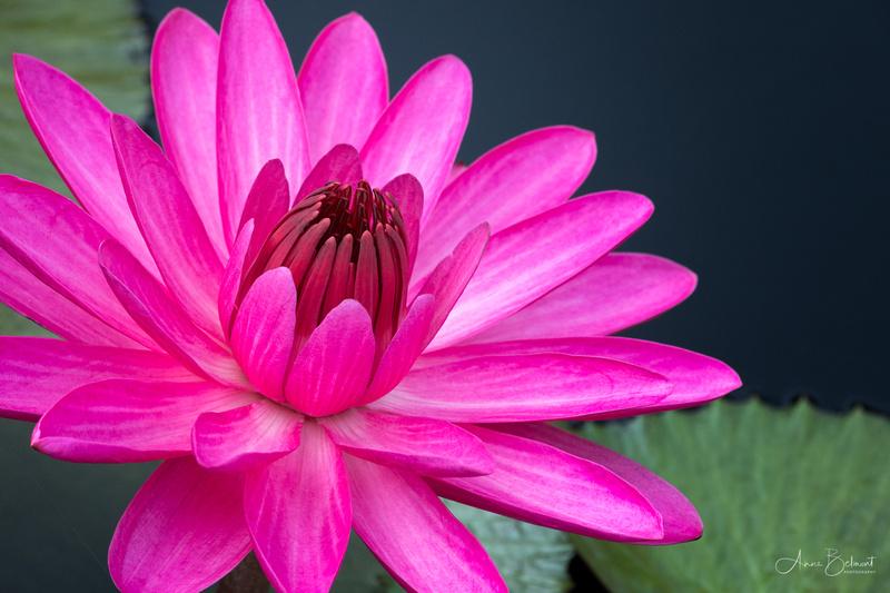 'Emily Grant Hutchings' Night Flowering Waterlily