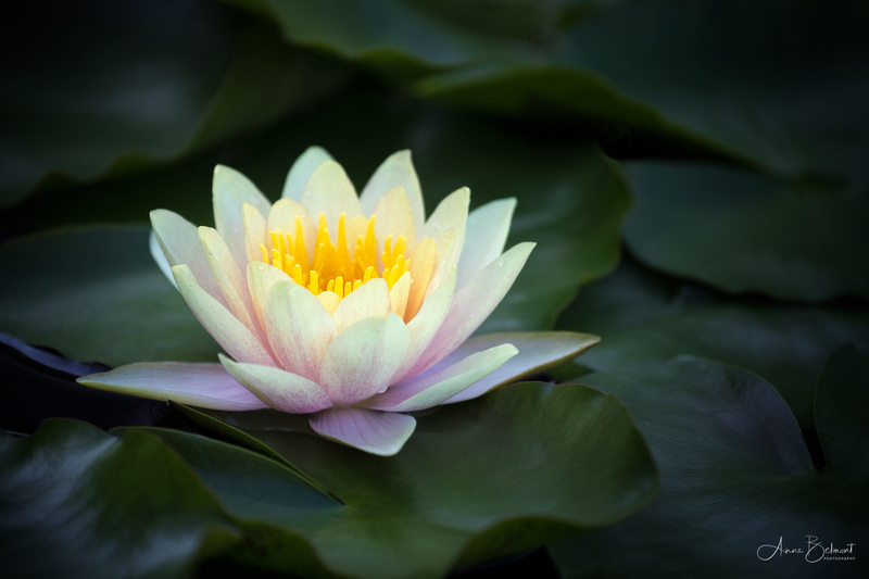Waterlily at Longwood Garden