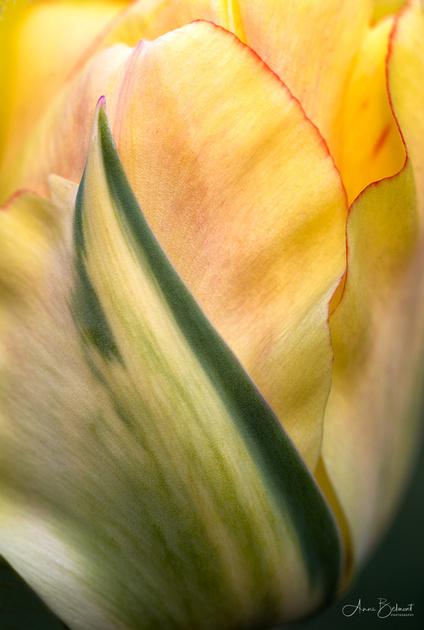 Tulipa 'Akebono'