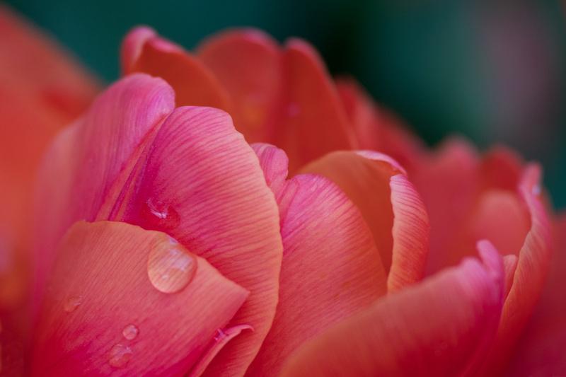Tulipa 'Orca'