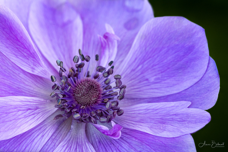 'Harmony Blue' Poppy Anemone