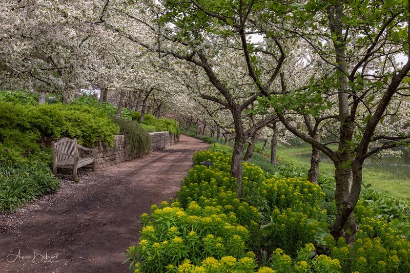 Crabapples in Bloom in Spring