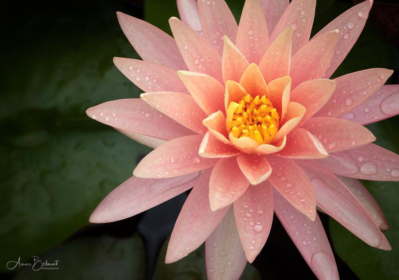 'Sunfire' Waterlily