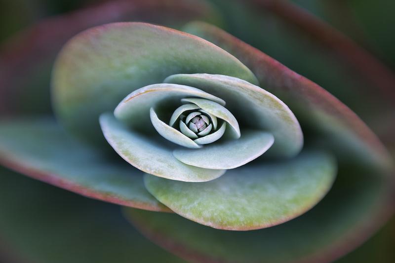 Desert Cabbage