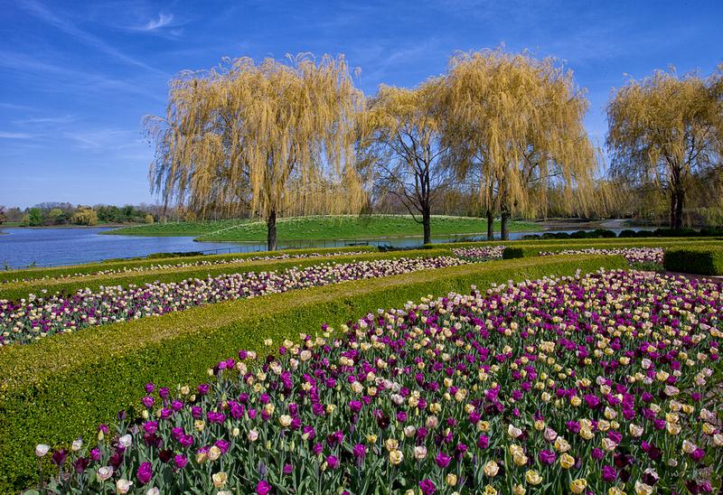 Tulips in Bloom in the Crescent Garden