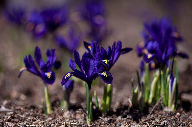 Harmony Iris