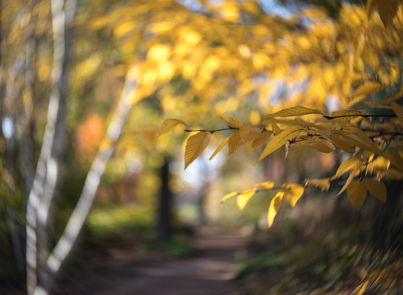 Birches Aglow