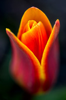 'Early Harvest' Tulip