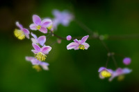 Tiny Dancers - Lavender Mist Meadow Rue