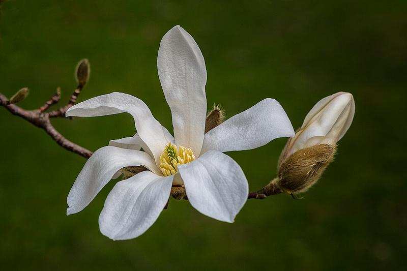 Star Magnolia