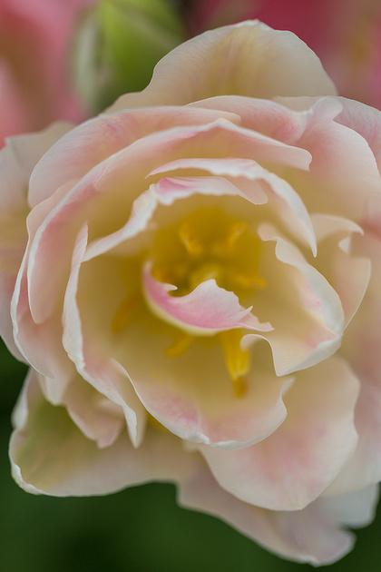 'Angelique' Tulip