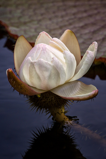 Victoria Waterlily Bud