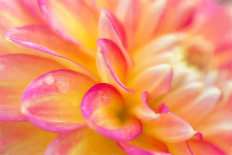 Dahlia with Water Droplets