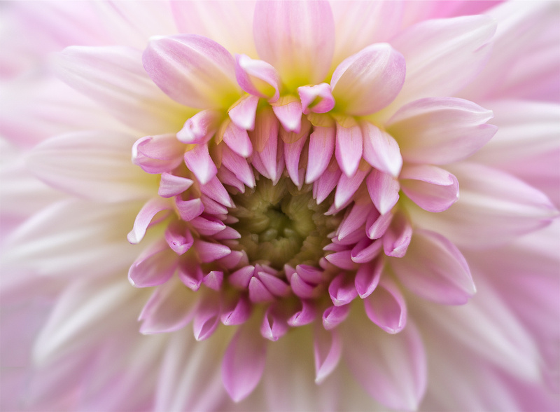 'Sweet Dreams' Dahlia
