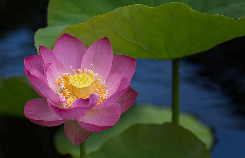 'Russian Red' Lotus