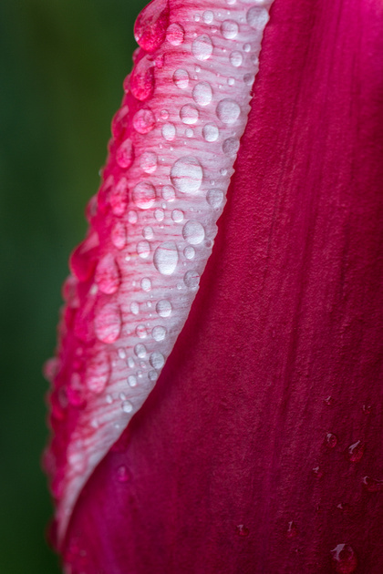 Tulip after the Rain