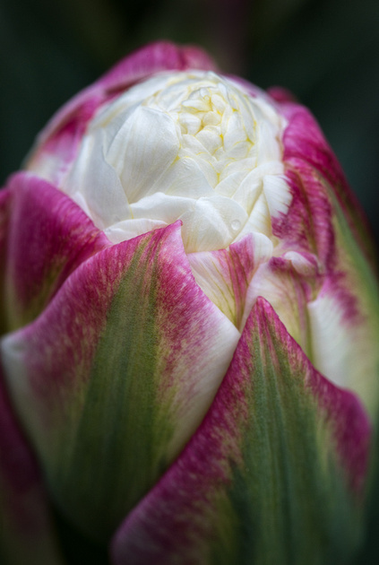Tulipa 'Ice Cream'