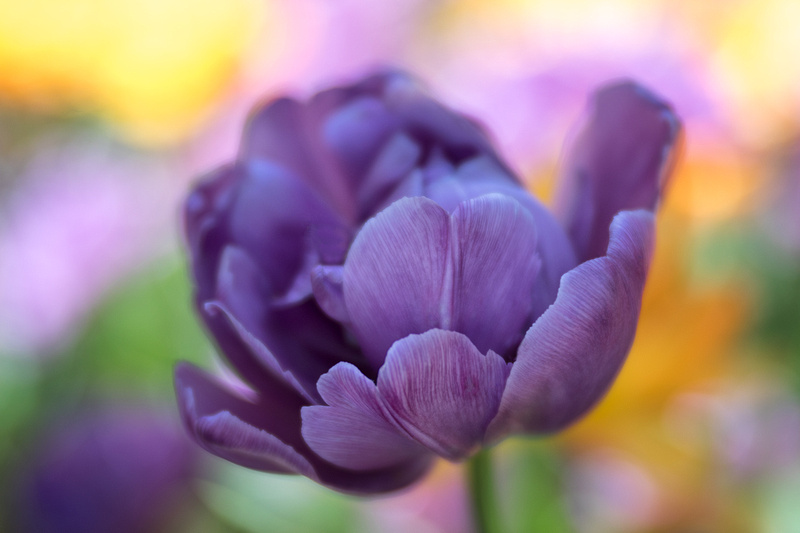 Tulip at Tower Hill Botanic Garden