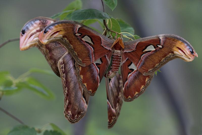 Atlas Moths Mating