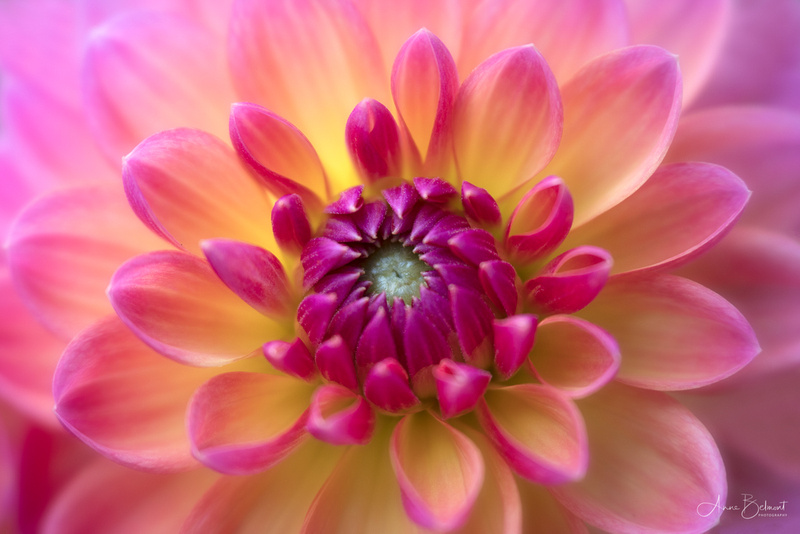 Cheerful Dahlia