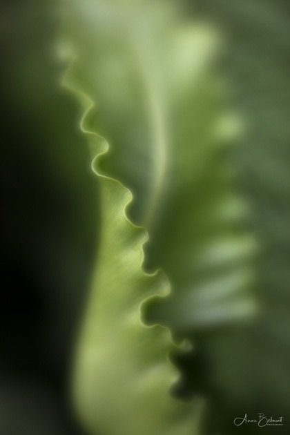 Ruffles of the Bird's Nest Fern