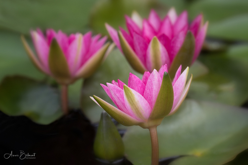Trio of Waterlilies