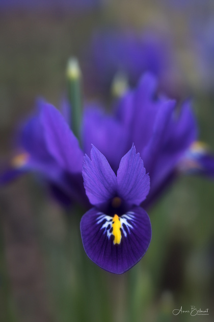 'Harmony' Iris in the Woods