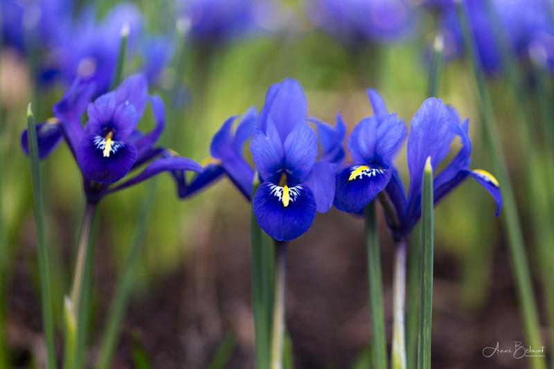 Harmony Iris in the Sensory Garden Woods
