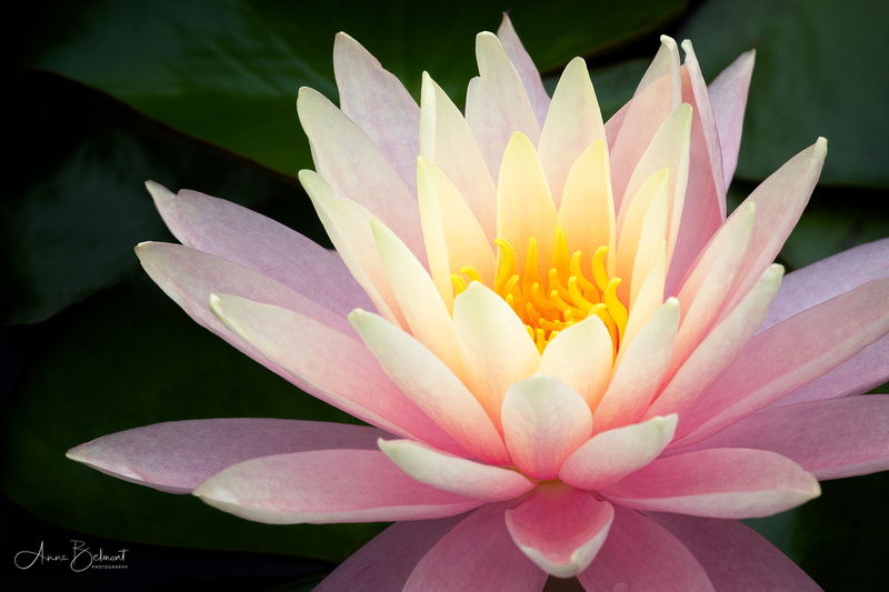 Waterlily in Pink