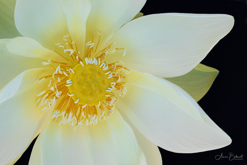 'Perry's Giant Sunburst' Lotus