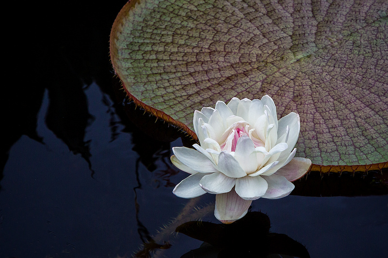 Victoria Waterlily