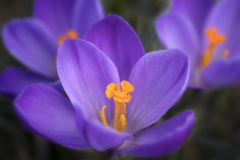 'Remembrance' Dutch Crocuses on Evening Island