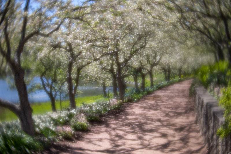 Crabapple Path in Spring