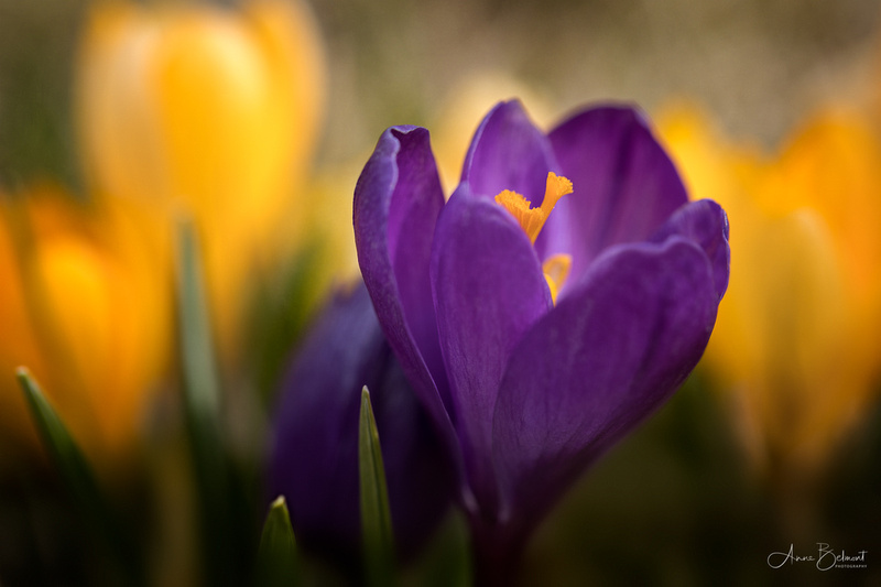 Crocus Beauty