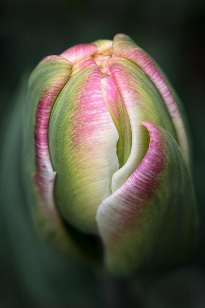 Tulipa 'Ice Cream'