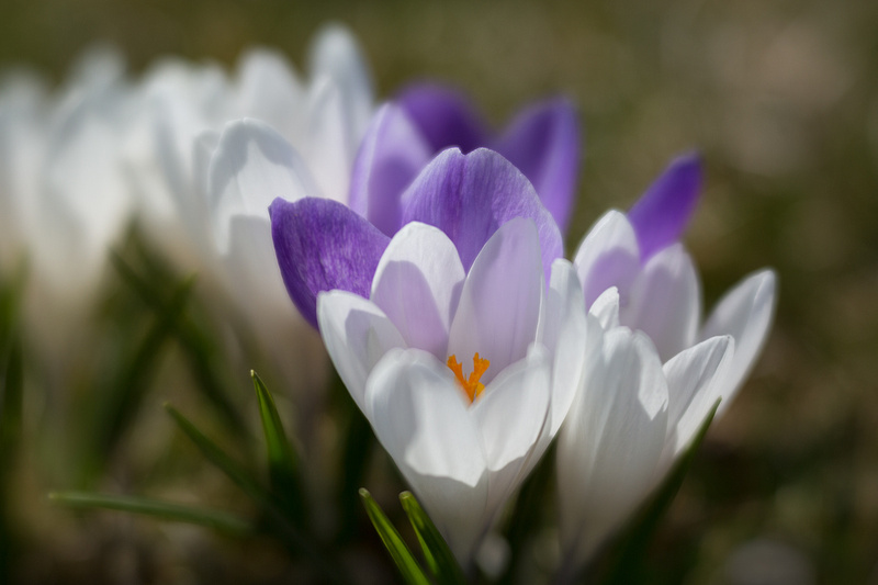 Crocuses in the Afternoon Light
