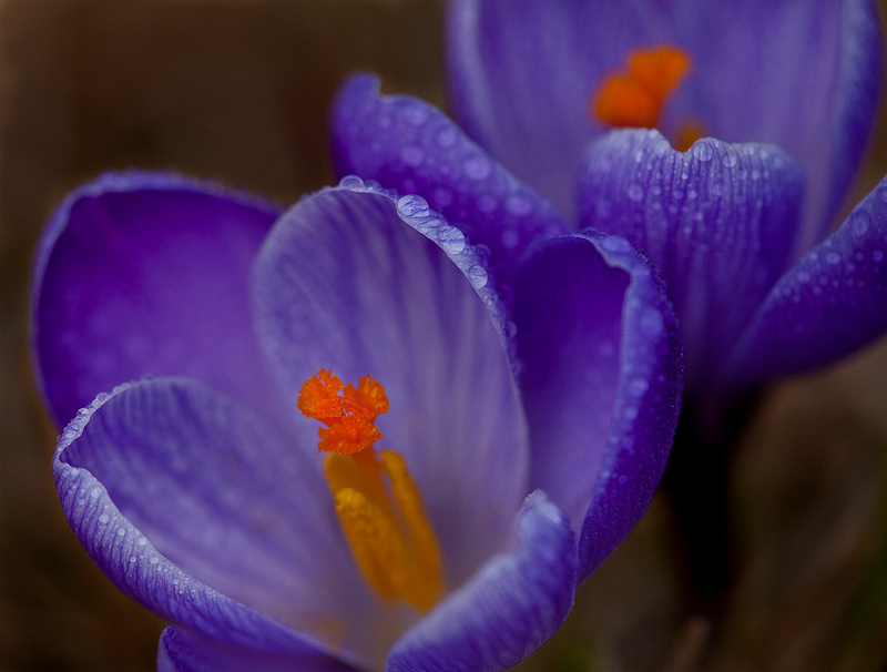 'Remembrance' Dutch Crocus